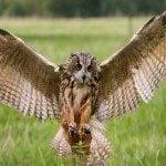 Eagle Owl 150×150